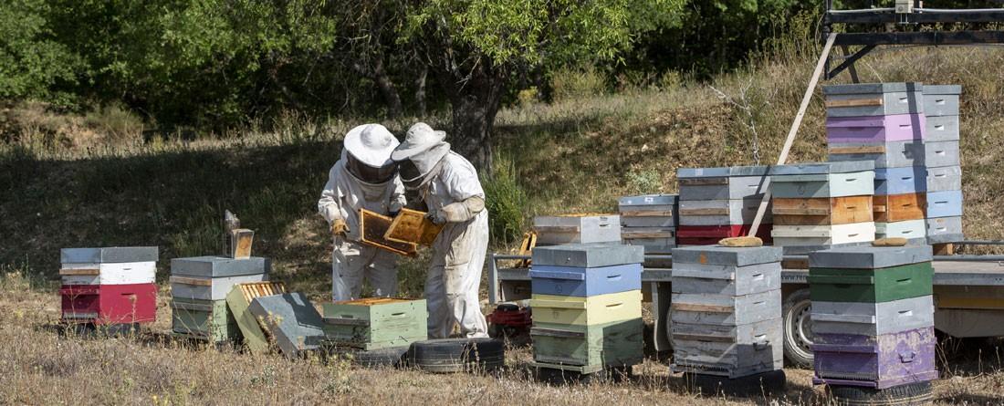 Récolte du miel de Lavande en  été